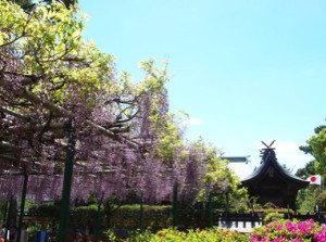 住吉神社の藤の花